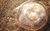 قنديل البحر الشفاف