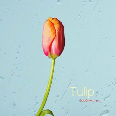Tulip ..
