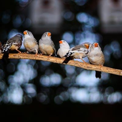 عصافير زيبرا